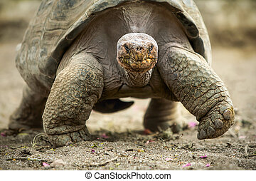 Big Galapagos Turtle - Galapagos Giant Tortoise Is The...