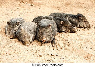 salvaje, collared, Peccary, cerdo, familia,