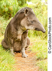 Wild Animal Male Tapir Tapirus Pinchaque - Adult Male...
