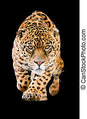 Jaguar Cat Isolated On Black - Isolated On Black Deadly...