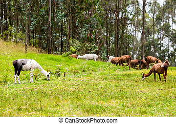Heard Of Lama - The Llama Is A South American Camelid Widely...