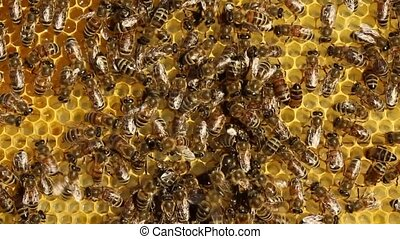 Queen Bee moving on cells. - Beekeeper pointing at the Queen...