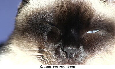 Siamese cat resting