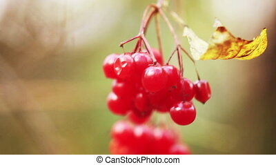 Red viburnum berries (guelder-rose)