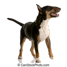 bull terrier - tri color nine month old puppy on white...