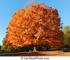 Orange tree - Big tree with bright orange and red leaves...