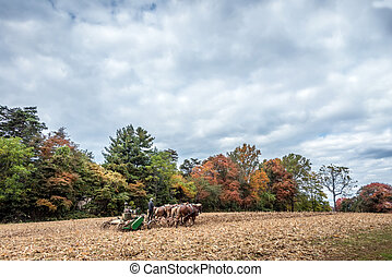 Belgian Draft Horses pulling a plow on an Amish Farm in...