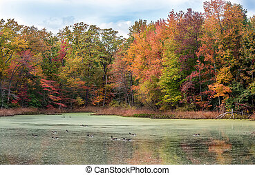 Canada Geese Swimming in Lake with Autumn Colors