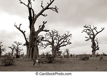 African Baobab tree on baobabs trees field on cloudy  day