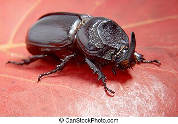Beetle rhinoceros. - Close-up picture of big insect - Beetle...