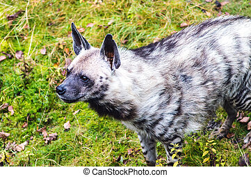 Spotted Hyena - A Spotted Hyena Close up