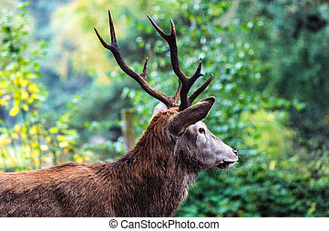 Red Deer - Majestic powerful adult male red deer stag in...