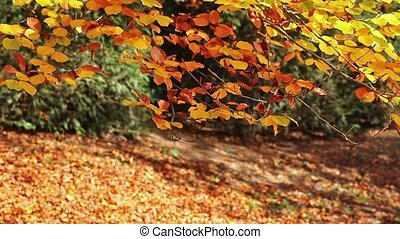Beech tree branch with golden colored autumn leaves gently...