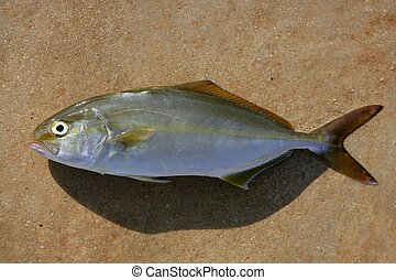Seriola dumerili fish greater amberjack fish on brown...