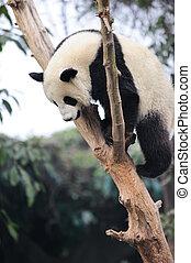 panda climbing tree - a lovely panda climbing the tree