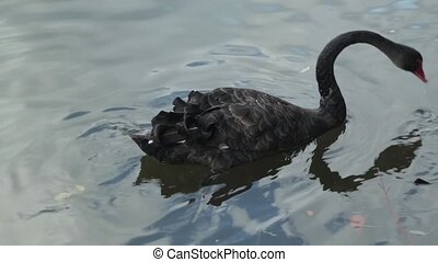 Black swan swim in lake with duck, HD