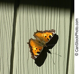California Tortoise Shell Butterfly - A California Tortoise...