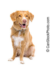 Nova Scotia Duck Tolling Retriever sitting in front of a...