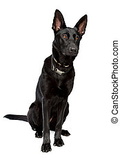 black short haired shepherd in front of a white background