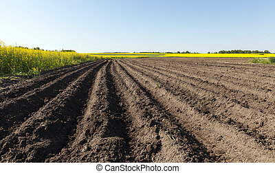 potato field . furrow - Agricultural field on which grow...