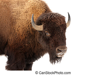American Buffalo - American buffalo standing isolated in...