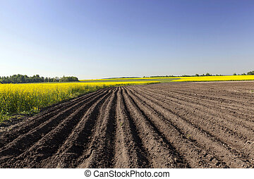 Agriculture rapeseed field - Agricultural field on which...