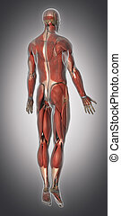 Muscular system anatomy