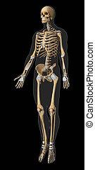 Skeleton and tendon anatomy