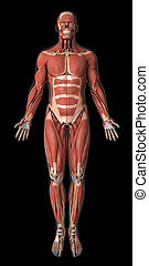 Muscular system anatomy anterior view