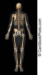 Skeleton and tendon anatomy posterior view