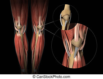 Knee muscle, tendon and cartilage anatomy