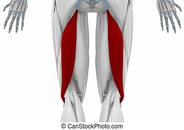 Biceps femoris - Muscles anatomy map
