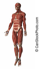 Muscles anatomy map