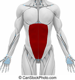 external abdominal oblique  - Muscles anatomy map