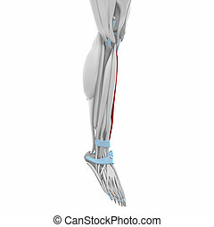 Tibialis anterior - Muscles anatomy map