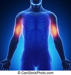 biceps brachii - blue muscle anatomy - Biceps brachii
