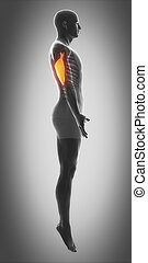 triceps brachii - triceps