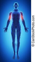 biceps brachii - Biceps brachii