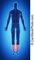 Blue muscle map - achilles - 3D anatomy