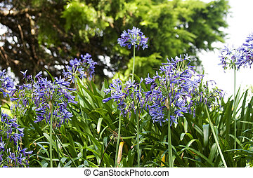 Agapanthus (African lily) - Beautiful blooming purple...