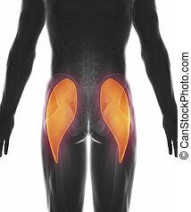 Gluteus maximus - muscle anatomy isolated - gluteus maximus