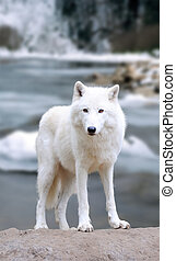 White wolf in forest - White wolf on the winter river