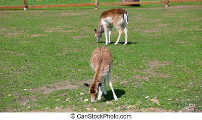 Beautiful deers feeding at summer meadow - Two spotted deer...