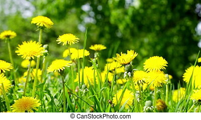 Summer field with dandelions close up - Bright yellow...