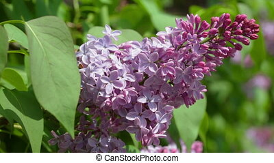 Branch of violet lilac close up - Close up view of purple...