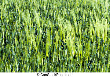 immature cereals wheat - photographed closeup immature...