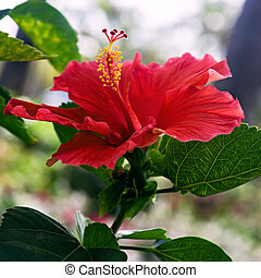 Hibiscus red flower close up single