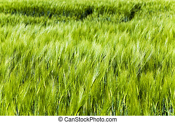 Green barley . close up - photographed close up green unripe...
