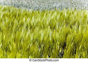 Green barley close up - photographed close up green unripe...