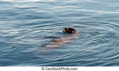 Sea Lion On Surface Of Water - Sea Lion Swimming In Monterey...